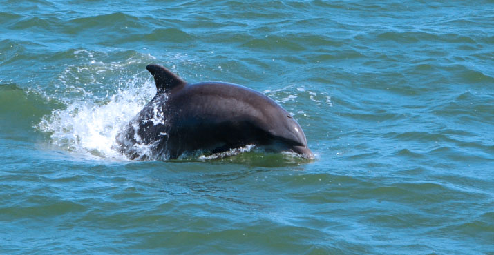 Playful Bottlenose Dolphins in Cape May, NJ