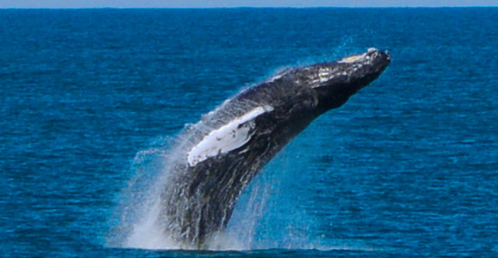Breaching Humpback Whale off of Cape May, New Jersey